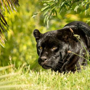 Black Jaguar Foundation - Accenture & Salesforce